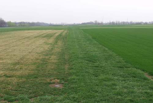 featured image for Creeping Red Fescue vs. Kentucky 31