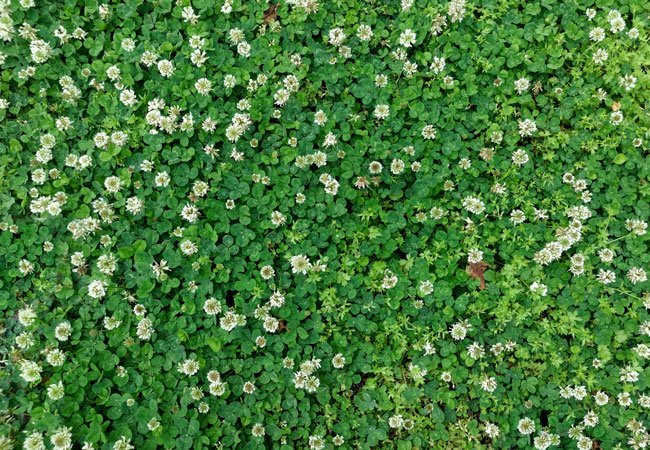 featured image for How to Get Rid of Clover from Your Lawn Naturally