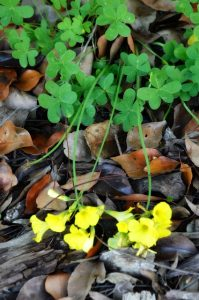 mature Woodsorrel