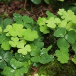prevent creeping Woodsorrel